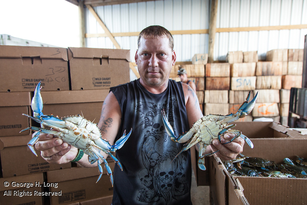 Raymond Nehlig Jr. shows the underside of male blue crabs while sorting for size and sex at Schneider Seafood on Bayou La Loutre in Shell Beach, Louisiana