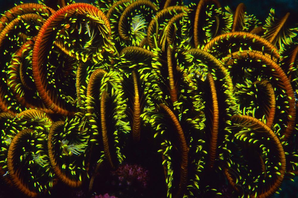 Crinoid (Oxycomanthus bennetti) in Beqa Lagoon, Fiji Islands.