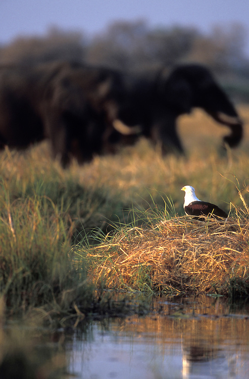 Botswana, Moremi Game Reserve,  Fish Eagle (Halieaeetus vocifer) and Elephants (Loxodonta africana) along Khwai River