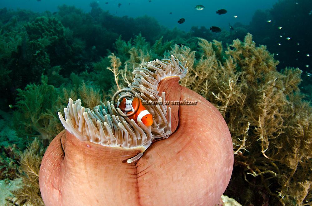 Common Clownfish, Amphiprion ocellaris, Bali Indonesia