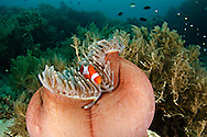 Common Clownfish, Amphiprion ocellaris, Bali Indonesia