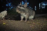 Plains Viscacha or plains vizcacha (Lagostomus maximus), Corrientes, Argentina. They live in communal burrow systems in groups containing one or more males, several females and immatures. Viscachas forage in groups at night and aggregate underground during the day. Image by Andres Morya