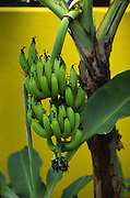 Banana, Rarotonga, Cook Islands<br />