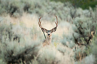 Mule Deer in velvet standing in the sage in Northern Utah. The Rocky Mountain range in Utah has dryer desert like ground to the west so in many areas sage brush grows along the foothills and sometimes in the higher elevations.
