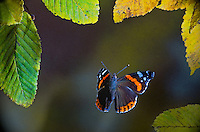 Red Admiral Butterfly Flying through Autumn Leaves, Switzerland<br /> <br /> Insects in flight, high speed photographic technique, flying, wings, motion, insects Image by Andres Morya
