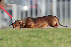 © Licensed to London News Pictures. 09/03/2017. Birmingham, UK. A tiny dog peaks over a hill as it arrives at the 126th annual Crufts dog show at the NEC in Birmingham, West Midlands. The show is organised by the Kennel Club and is the biggest of it's kind in the world.  Photo credit : Ian Hinchliffe/LNP