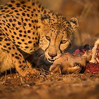 Predators in colour