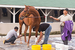 Derby 142 hopeful Gun Runner was bathed after his pre-Derby workout, Monday, May 02, 2016 at Churchill Downs in Louisville.