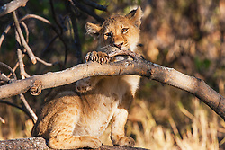 A lion cub (Panthera leo) chewing on a tree branch, Moremi Game Reserve, Botswana, Africa