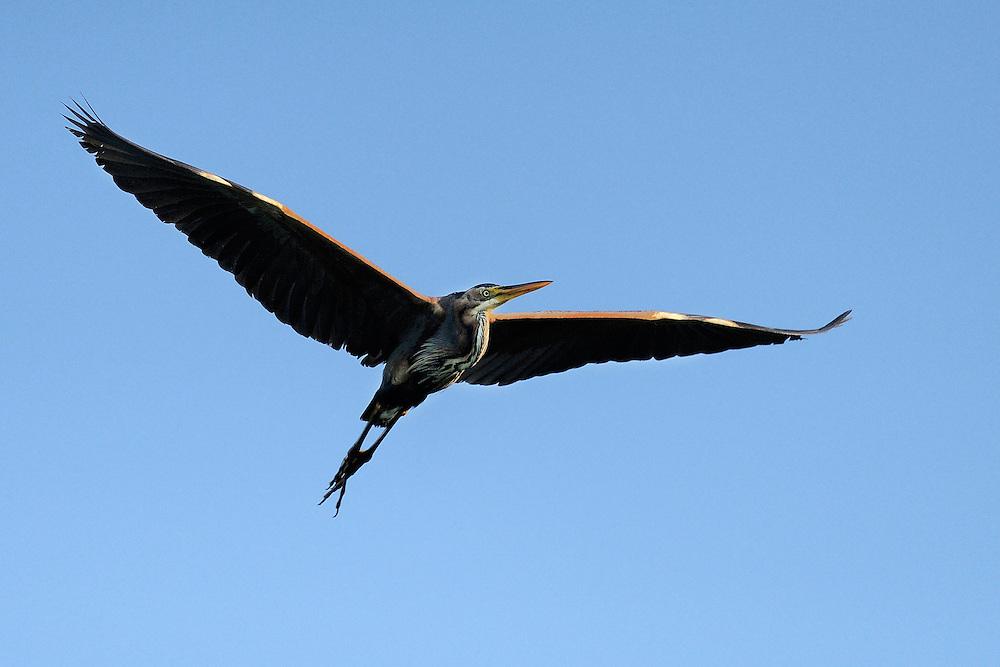 Purple heron, Ardea purpuraea, Danube delta rewilding area, Romania