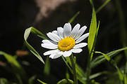 Israel, Negev, a field of wild white and yellow southern daisy (Bellis sylvestris) flowers in spring
