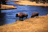Of the two surviving species, the American bison, B. bison, found only in North America, is the more numerous. Although commonly known as a buffalo in the United States and Canada, it is only distantly related to the true buffalo.