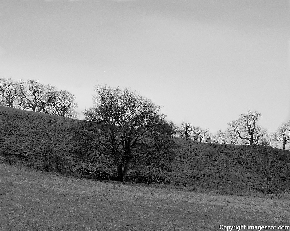 Winter trees, blackandwhite