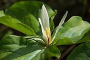 Trillium or Giant White Wakerobin (Trillium albidum); Mount Pisgah Arboretum, Willamette Valley, Oregon.