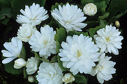 Sanguinaria canadensis f. multiplex 'Plena' AGM - Bloodroot