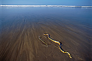 This image was a category winner in the 2002 BBC Wildlife Photographer of the Year competition.<br /> <br /> I found this female Yellow-bellied Sea Snake washed up on the beach in Guanacaste after I had been photographing nesting turtles at dawn. The snake looked dead, as is normally the case when they appear on land, and so I walked on. On my return, I was astonished to see that not only was she still alive but in the few minutes I had been gone, she had also given birth. I photographed the baby as it wriggled energetically next to its fatigued mother and as the tide closed in. Once a wave finally reached them, the baby shot away instantly but the mother, clearly weakened by her ordeal, swam off much more slowly.<br /> <br /> For sizes and pricing click on ADD TO CART (above).