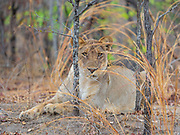 A wild lioness in South Luangwa National Park, Zambia