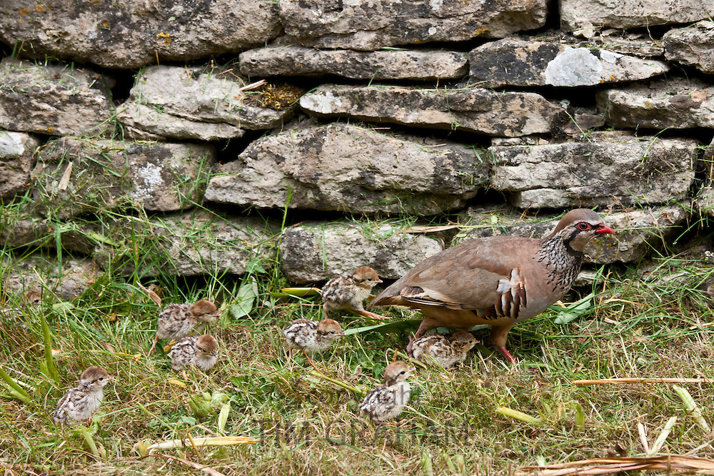 Red-Legged Partridge hen (French Partridge) Alectoris rufa, with newborn chicks, The Cotswolds, UK