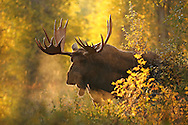During early fall, I had a lengthy encounter with a bull moose, known to locals as Washakie. In pursuit of cows, Washakie walked stiff-legged through a thick stand of cottonwoods, emitting a series of grunts as breath steamed from his nostrils. He was quite the sight as he emerged from the forest, with the early morning light making the scene seem almost magical. This majestic fellow certainly knows how to make an entrance after all these years!
