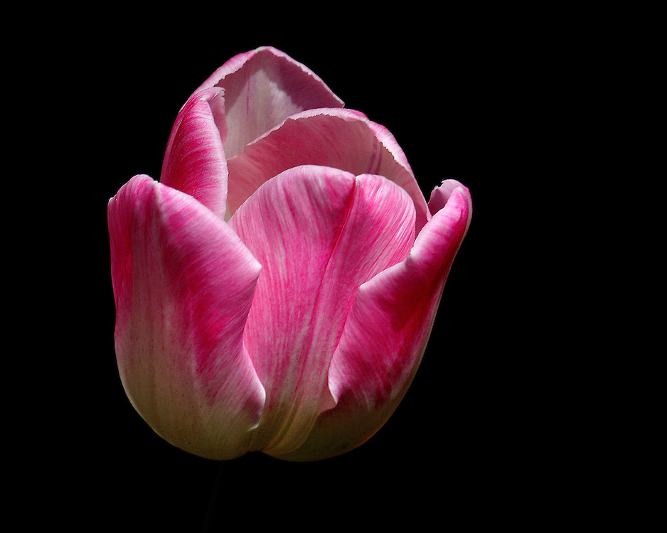 A tulip just in the process of opening.