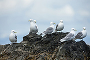 Black-legged Kittiwakes on rocks