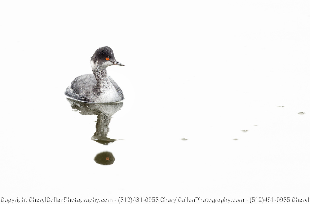 Eared Grebe in water with reflection