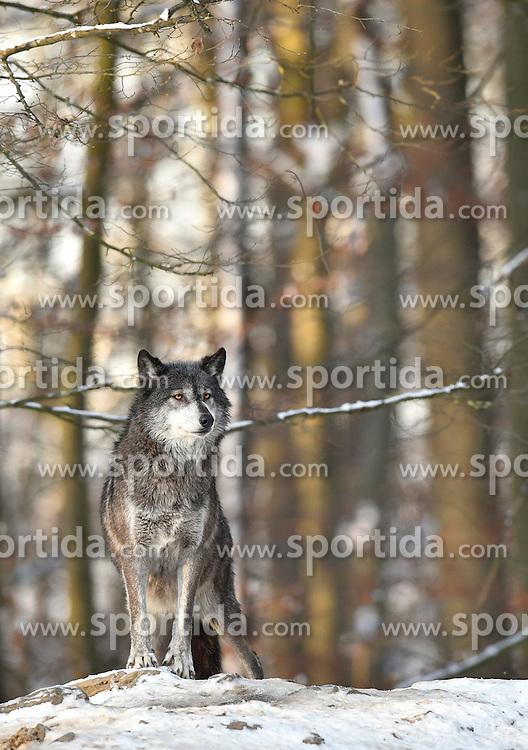 28.12.2014, Wildtierpark, Bad Mergentheim, GER, W&ouml;lfe im Wildtierpark Bad Mergentheim, im Bild Timberwolf, Kanadischer Wolf (Canis lupus occidentalis) im Schnee, haelt Ausschau, captive // Wolves in the Wildtierpark in Bad Mergentheim, Germany on 2014/12/28. EXPA Pictures &copy; 2015, PhotoCredit: EXPA/ Eibner-Pressefoto/ Weber<br /> <br /> *****ATTENTION - OUT of GER*****
