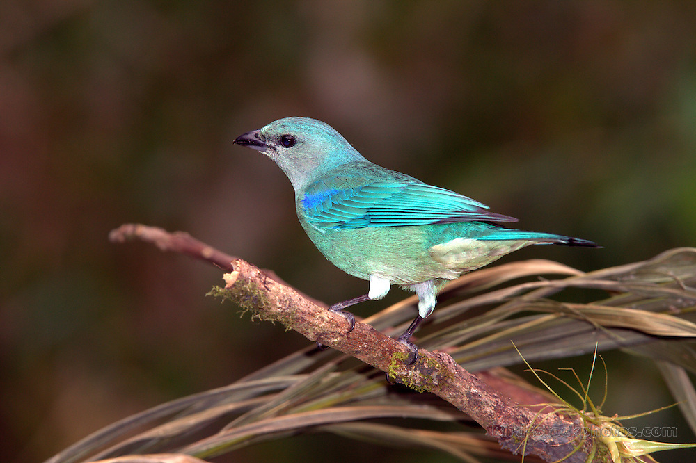 Azure-shouldered Tanager, Thraupis cyanoptera, on branch, Intervales State Park, Brazil, by Adam Riley