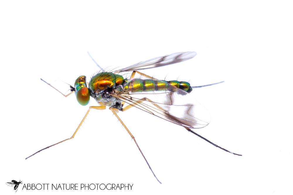 Longlegged Fly (Condostylus sp.)<br /> TEXAS: Jasper Co.<br /> Brookeland/Lake Sam Rayburn KOA @ 505 Co Rd 212<br /> 31.141606, -93.994174<br /> 13.Apr.2015<br /> J.C. Abbott #2722 &amp; K.K. Abbott