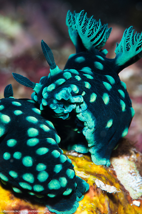Two crested nembrotha (Nembrotha cristata) nudibranchs doing their bit for survival of the species. Nudibranchs are typically both male and female, and meet up to breed with each other simultaneously.