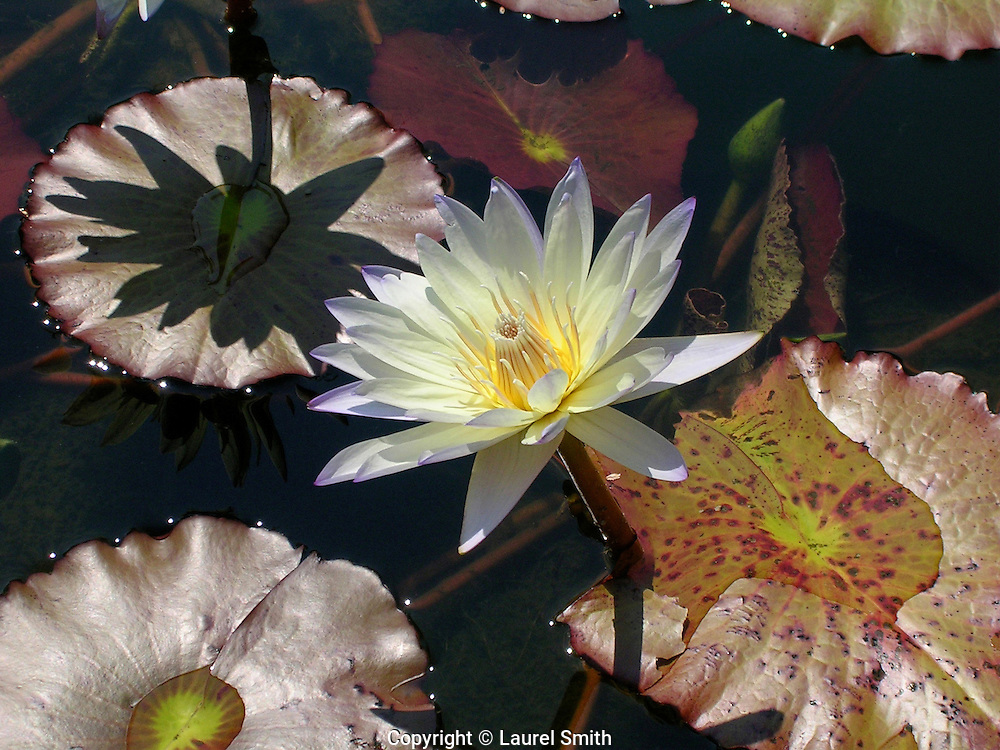 White Water Lily <br />