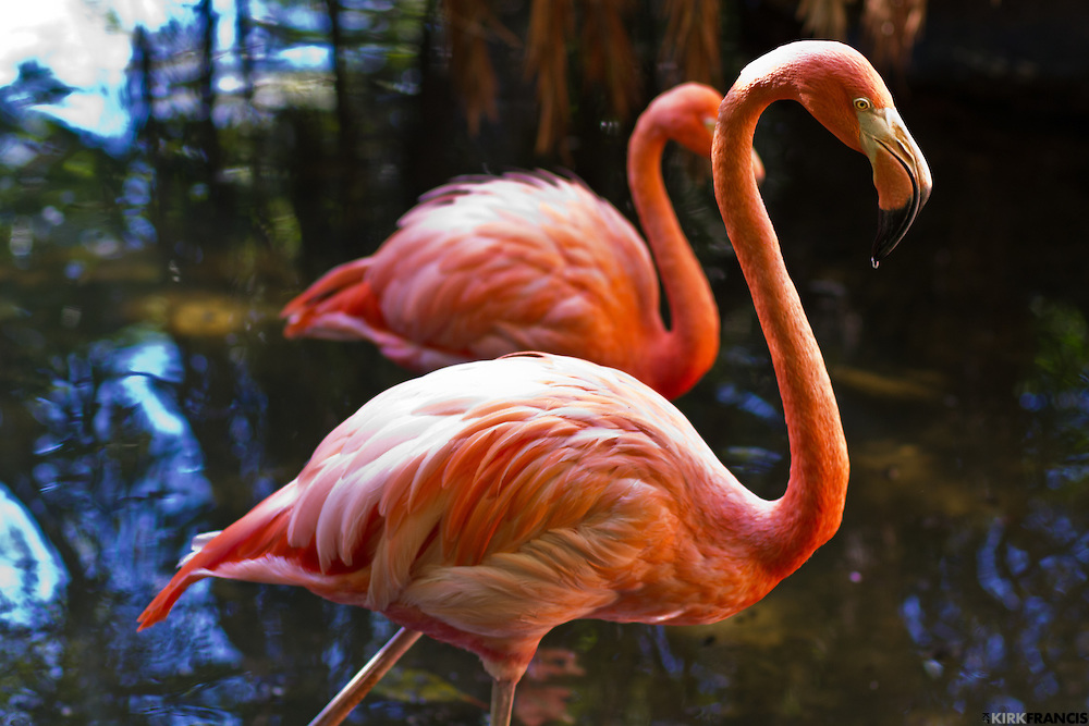 American Flamingo at the Palm Beach Zoo