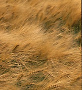 Field of Barley, blown by the wind.