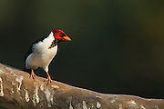 Yellow-billed Cardinal (Paroaria capitata)<br /> Northern Pantanal<br /> Mato Grosso<br /> Brazil