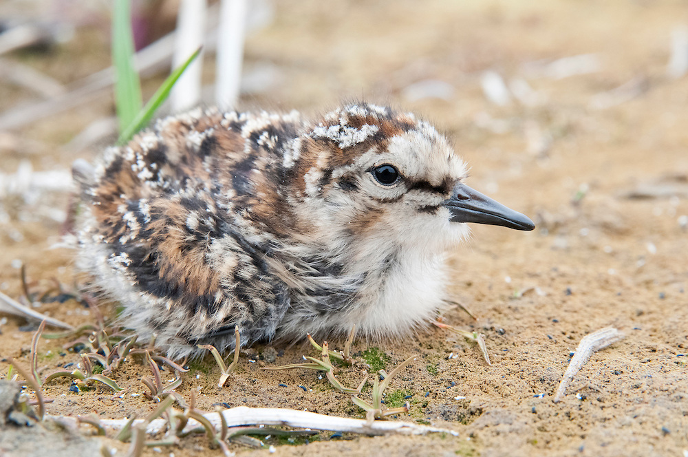 Semipalmated Sandpiper, Calidris pusilla, chick, Yukon Delta NWR, Alaska
