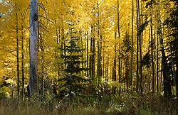 &quot;Autumn Aspens 1&quot;- Photographed in the Tahoe Donner area of Truckee, CA, near the Equestrian Center.<br />