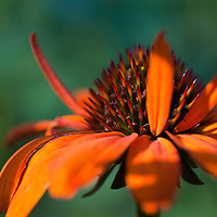 Echinacea 'Tiki Torch'.Another exciting new perennial for 2007. Could be short ) This plant has huge pumpkin orange flowers that are strong and upright.