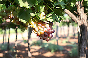 A cluster of green grapes on a vine in a vineyard. Photographed in the Galilee, Israel