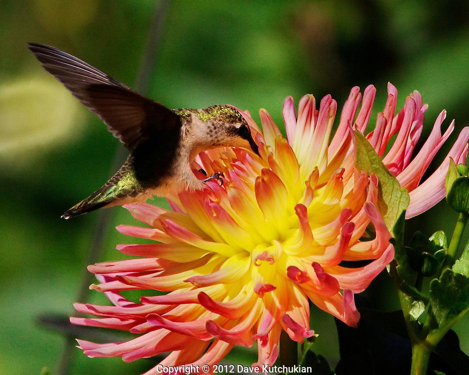 female humming feeding at dahlia, dorset,vt