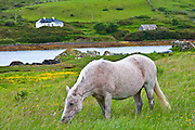 Connemara pony grazing near Cleggan, Connemara, County Galway, West Coast of Ireland