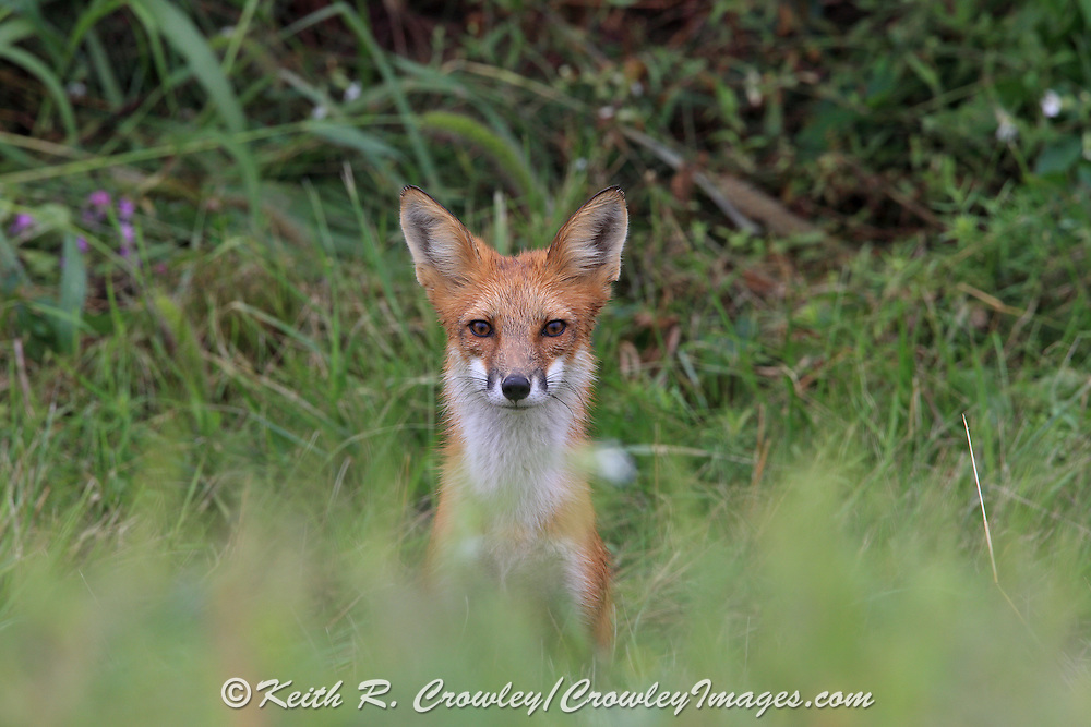 Male Red Fox in Habitat