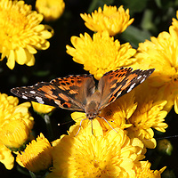 An American Painted Lady Butterfly, Vanessa virginiensis, with wings spread. Leaming's Run Gardens, Cape May Courthouse, New Jersey, USA