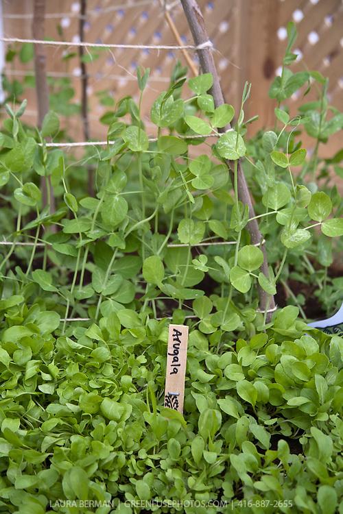 Arugula and sugar snap peas in a spring kitchen garden.
