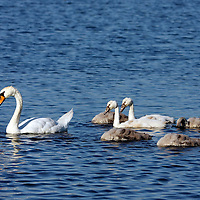 Mute Swan swimming with brood