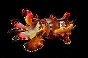 Flamboyant cuttlefish (Metasepia pfefferi), photographed in Lembeh Strait, Sulawesi, Indonesia.