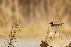 Emiquon Nature Preserve and Wildlife Refuge -  A Killdeer sits on some large pieces of broken concrete and stone on mostly cloudy day in central Illinois