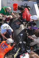 Manatee Health Assessments, Kings Bay, Crystal River, Citrus County, Florida USA. November 10, 2011 am. Researchers from several federal and state agencies and other partners work together to gather data during the manatee capture and health assessments. A Manatee Rescue boat is used as a platform to gather data sampling from a manatee. Body temperature monitoring and blood sampling are two of the procedures in progress. The manatee is only out of the water for a pre-determined safe period of time. Scars on the manatee are documented. Project Leader, Dr. Robert K. Bonde, is in among the researchers.
