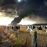 A herd of cows belonging to Monterey County supervisor Lou Calagno graze serenely as a massive fuel-oil tank fire rages near Duke Energy's Moss Landing, California power plant on July 8, 2003.  Photo by Shmuel Thaler / Santa Cruz Sentinel