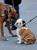 Boxer hangs out with English Bulldog puppy