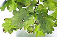 Quercus robur (English oak) foliage and acorn. RBG Kew